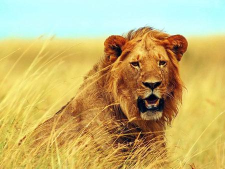 狮子一边走,一边回头看着仍在跺脚的大象