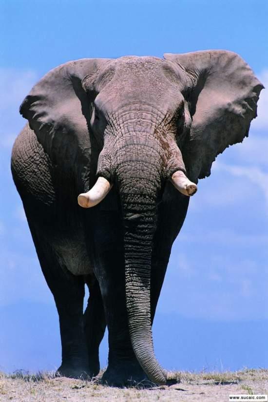 壁纸 大象 动物 550_825 竖版 竖屏 手机